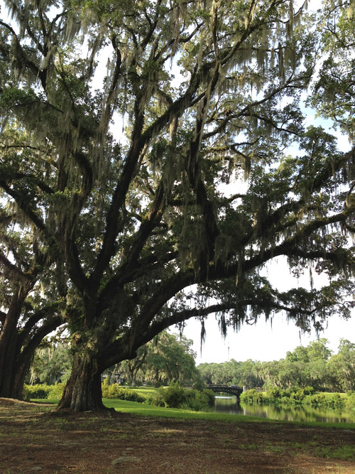 live-oak