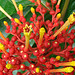 Small photo of Isertia haenkeana, the Firecracker Plant