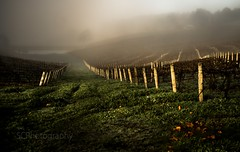 Early morning vineyard
