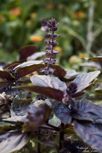purplerufflebasil2