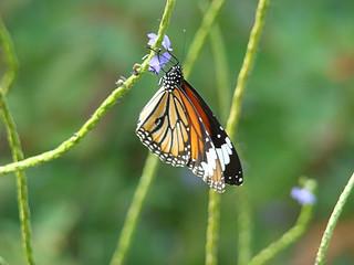 077 Common Tiger