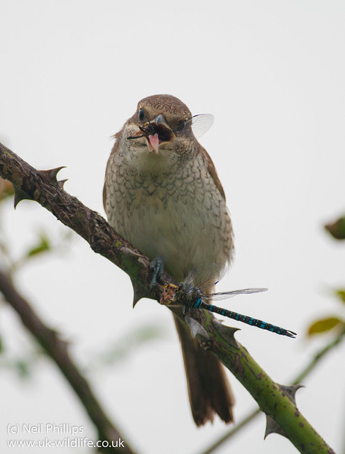 red backed shrike eating migrant hawker-5