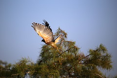RED-SHOULDERED HAWK #2