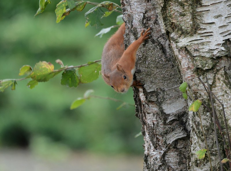 Red Squirrel by Wanderer105 (Christine Cassidy )