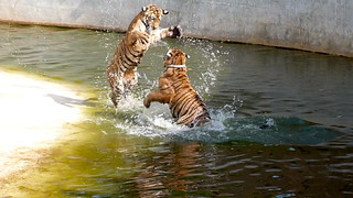Wow! Tigers!! (but not really a photo)