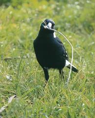emberizidae(0.0), stock dove(0.0), eurasian magpie(0.0), blackbird(0.0), animal(1.0), fauna(1.0), beak(1.0), bird(1.0), wildlife(1.0), magpie(1.0),