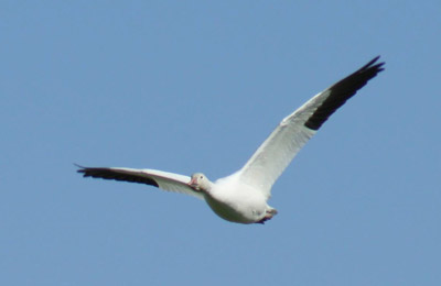 snow-geese-1
