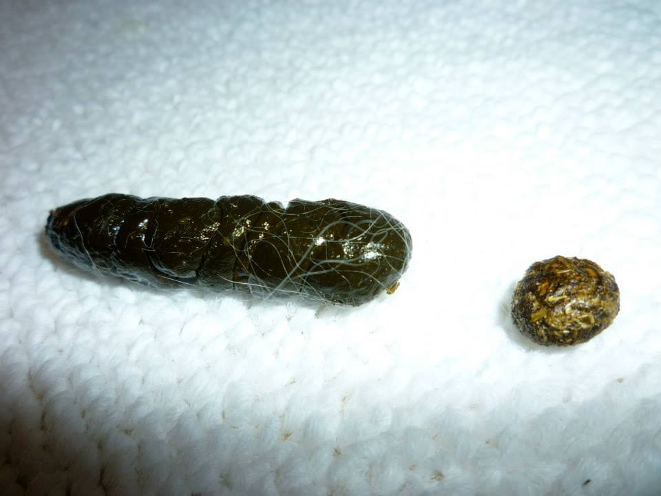 megacolon cecals (next to normal bunny fecal for size comparison)