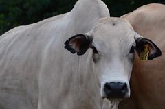 ILRI farm: Boran cows