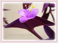 Flower of Tradescantia pallida 'Purpurea' (Purple Queen, Purple Heart, Purple Secretia) - Nov 14 2013