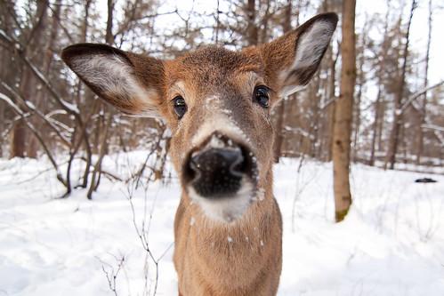 Nosey - White-tailed doe, Ottawa, Ontario