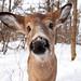Nosey - White-tailed doe, Ottawa, Ontario by Jim Cumming