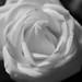 White Rose by Floovia