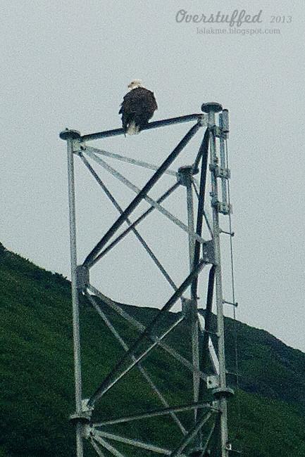 Bald Eagle Juneau Alaska