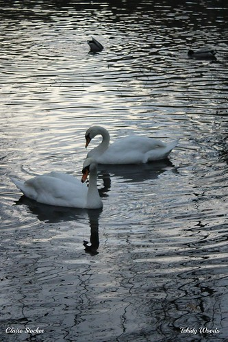 Swans, Tehidy Woods by www.stockerimages.blogspot.co.uk