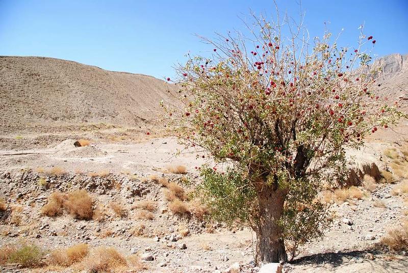 284 arbol del desierto en Chak Chak (8)