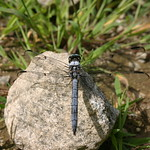 Dragonfly on a rock