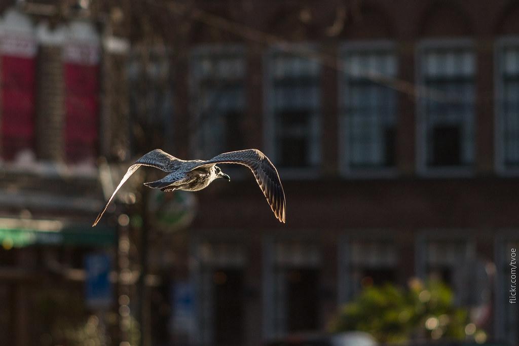 Серебристая чайка летит в Амстердаме