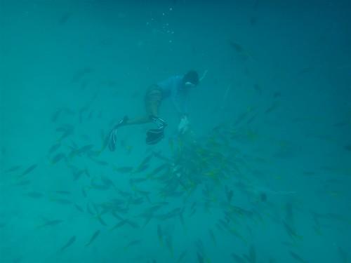 導遊潛至水底,以剩飯吸引小魚,藉以吸引鯊魚(圖片攝影:陳柏豪)