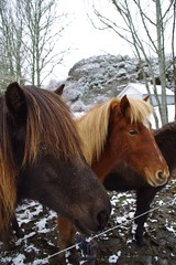 The horses of Sweden
