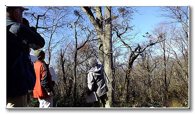 ミズナラの冬芽を観察.先生お手製の道具で枝を引き寄せる.