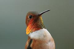 Selasphorus rufus ♂ (Rufous Hummingbird) - Everett, WA