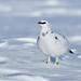 Ptarmigan by Dean Eades BirdMad Wildlife Photography