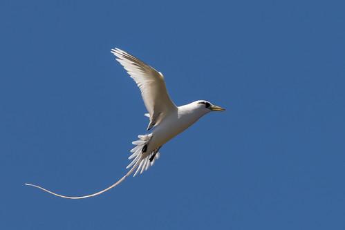 whitetailedtropicbird tropicbird koaekea phaethonlepturus seabird lanailookout honolulu oahu hawaii bird birdinflight bif phaethontiformes