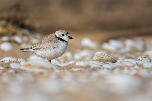 shorebird pipingplover sandyhook charadriusmelodus bird plover forthancock water nature beach shells highlands newjersey unitedstates us