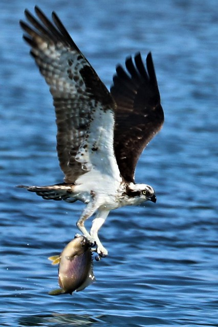 Pandion haliaetus Osprey with Embiotoca lateralis Striped Surfperch
