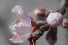 日, 2017-04-02 13:23 - Brooklyn Botanical Garden