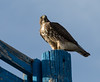 Swainson's Hawk on post 1