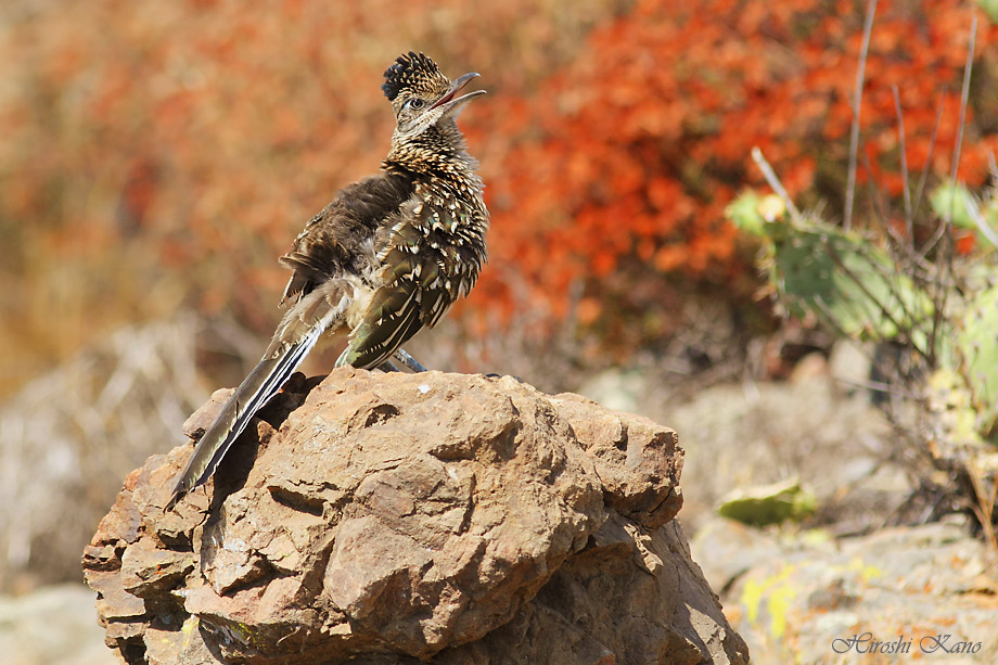 Greater Roadrunner 050513-12