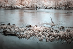 Infrared Blue Heron