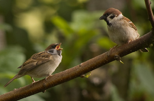 Tree Sparrows 5.jpg