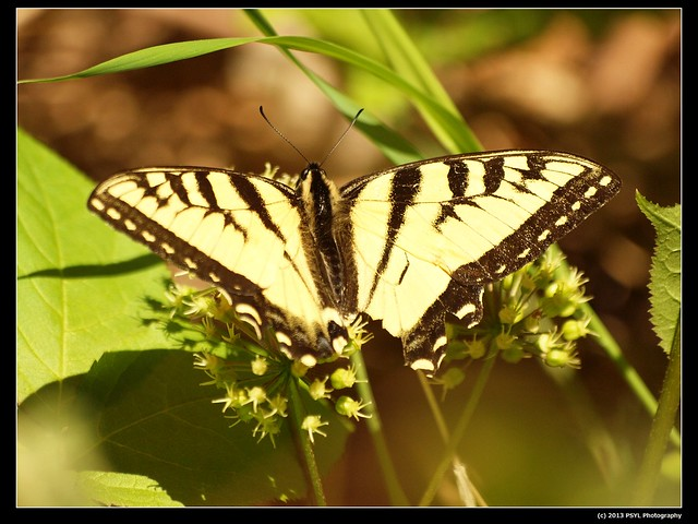 Canadian Tiger Swallowtail (Papilio canadensis) visiting Wild sarsaparilla (Aralia nudicaulis)