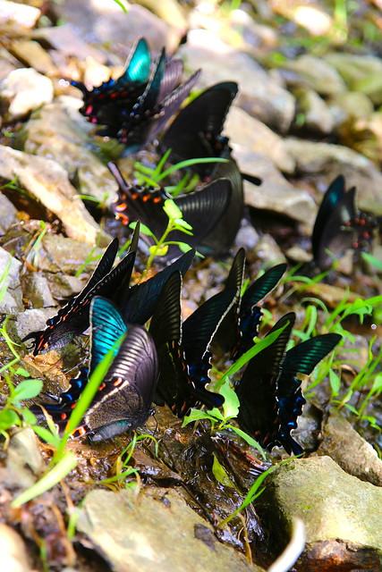 ミヤマカラスアゲハの集団吸水