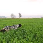 ECO DI VALTRESINARO - Nella sua tipica espressione di ferma, al centro di un bellissimo campo di grano.