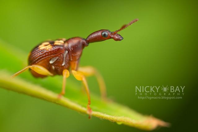 Leaf-Rolling Weevil (Attelabidae) - DSC_2926