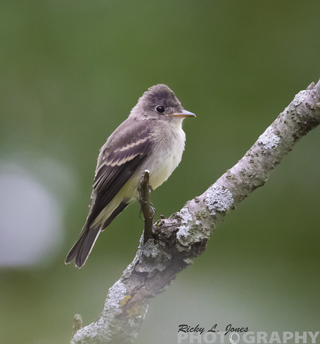 Easter-Wood Pewee by Ricky L. Jones Photography