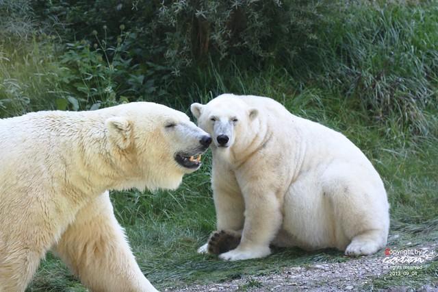 Eisbären Giovanna&Yoghi 2013_09_04 233