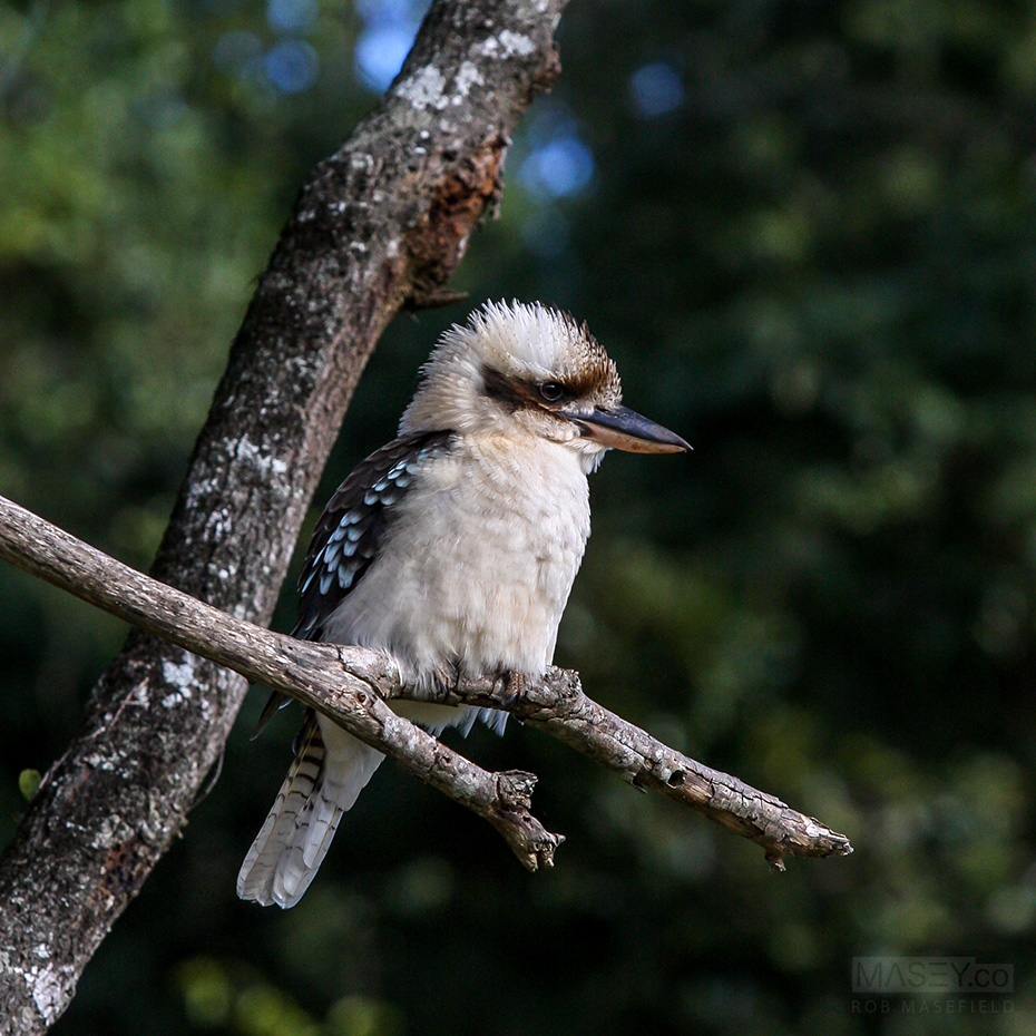 A rather fluffed up kookaburra.