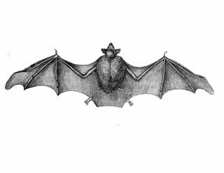vintage printable bat chiroptera public domain halloween antique