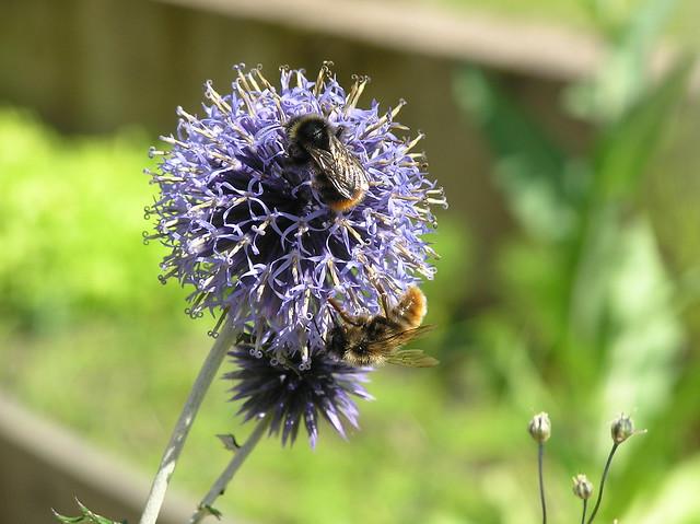 Bumblebees, Bombus lapidarius male & Bombus sylvarum
