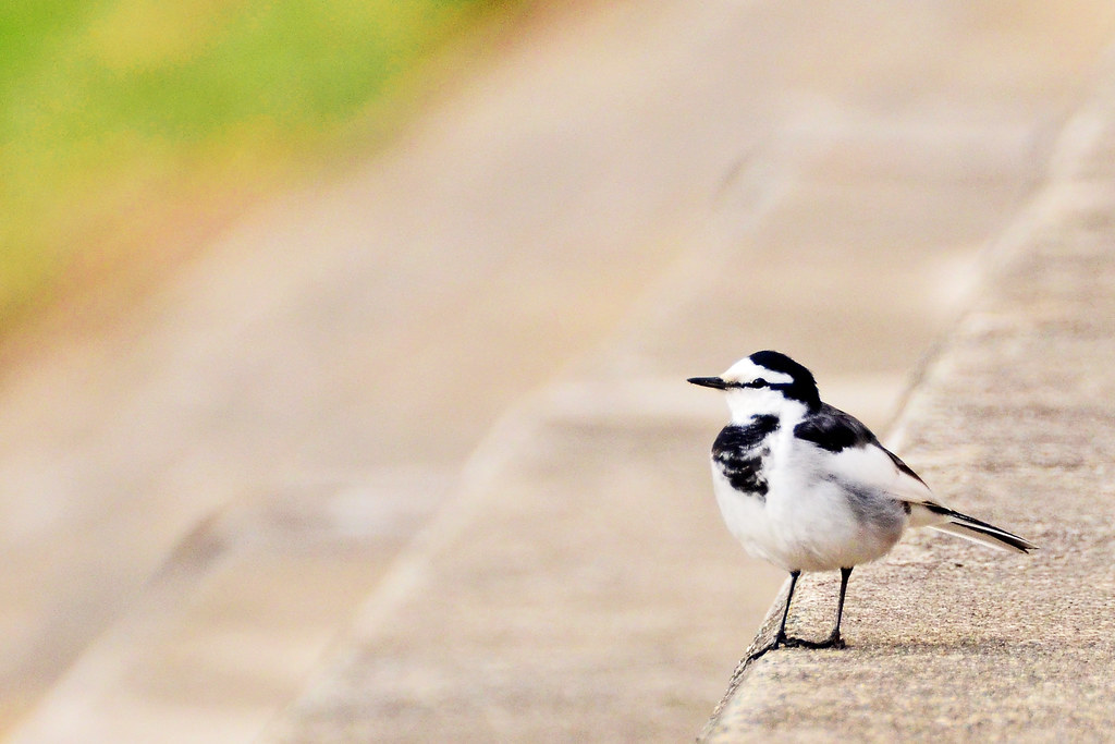 White Wagtail (Japanese Pied Wagtail) ♂ / ハクセキレイ