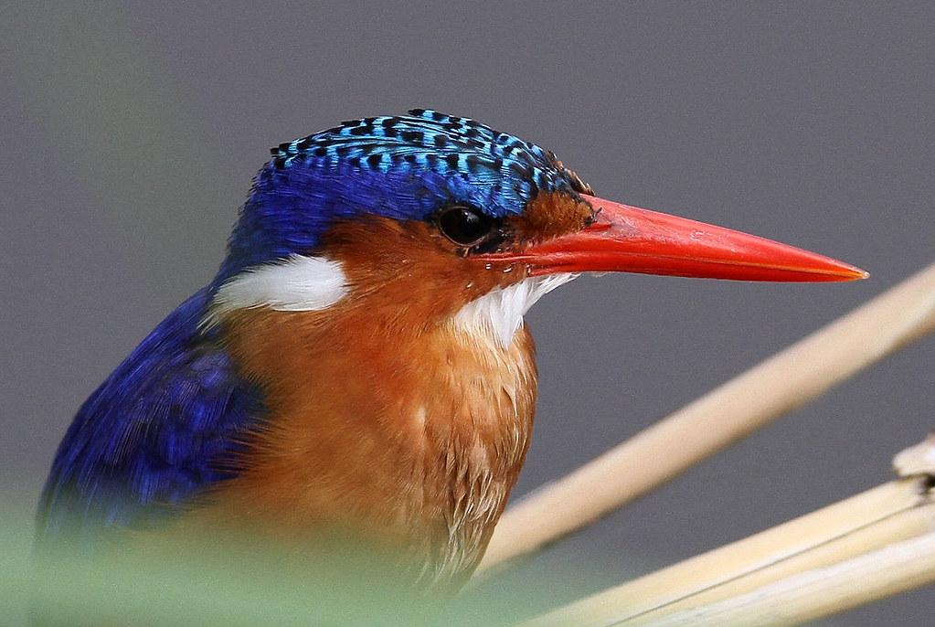 Alcedo cristata (Malachite Kingfisher)
