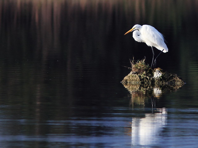 Great Egret reflection 2-20140113