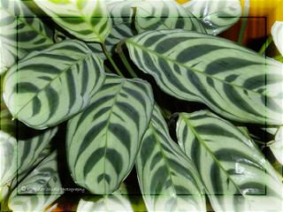 Green Leaves Of Prayer Plant