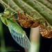 Cicadidae by Techuser