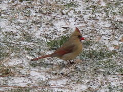 Northern Cardinal ~ She waits in the snow